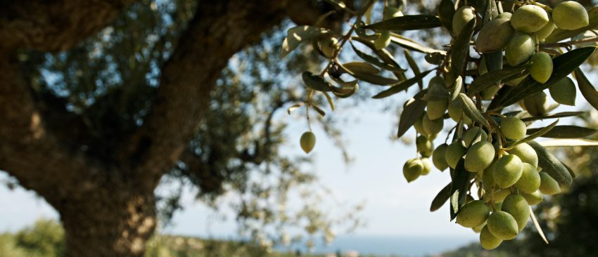 Olive Plants Co-Op